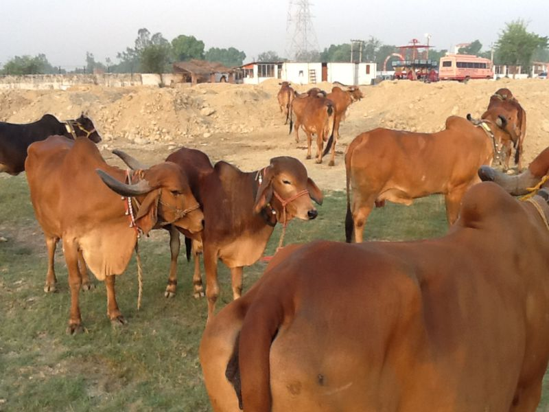 Iskcon Kanpur Goshala
